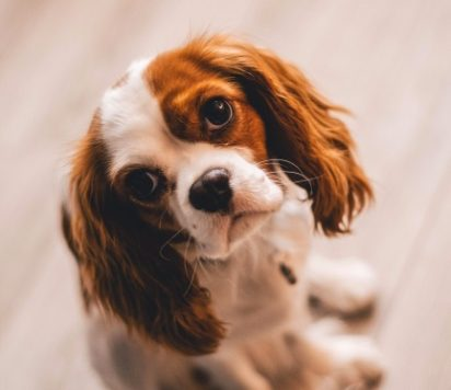 How to Survive House Training:  A New Puppy Owner's Guide
